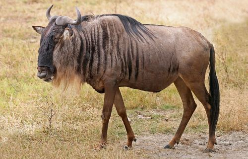 Blue-Wildebeest-Ngorongoro