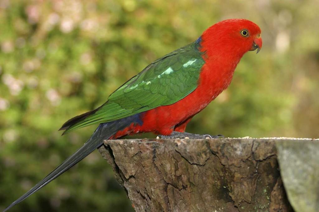 australian-king-parrots