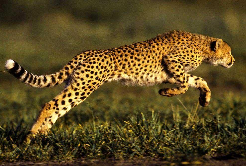 cheetah-jump