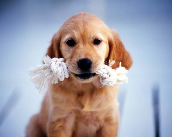 Animals-Dogs-Puppies-Golden-Retriever