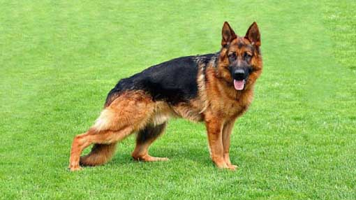 German Shepherds hd Pictures