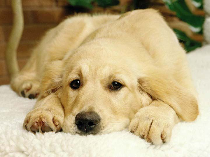 Golden Retriever innocent look