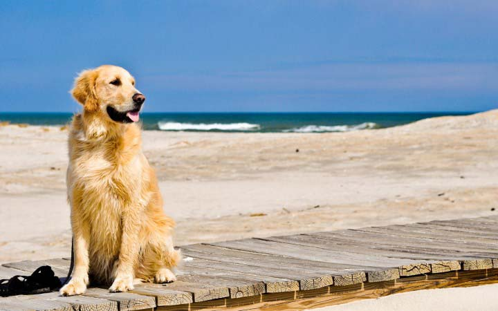 Golden Retriever on beach
