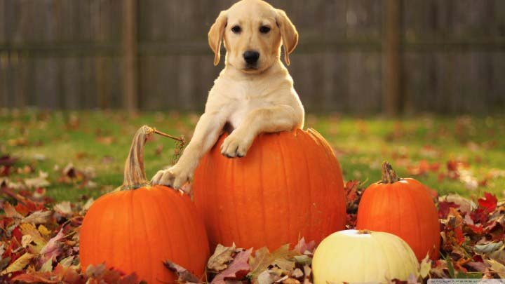 Golden Retriever on pumkin