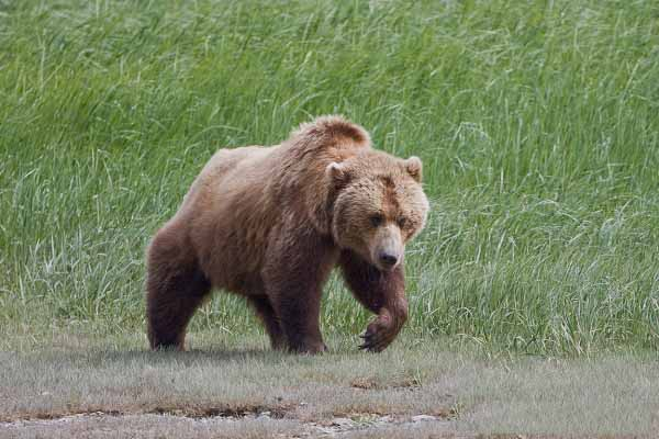 Ours Grizzly / Ursus arctos horribilis / Grizzly bear