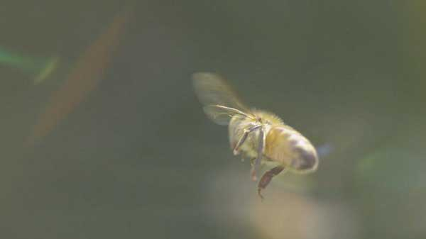 Honey bees flying speeds