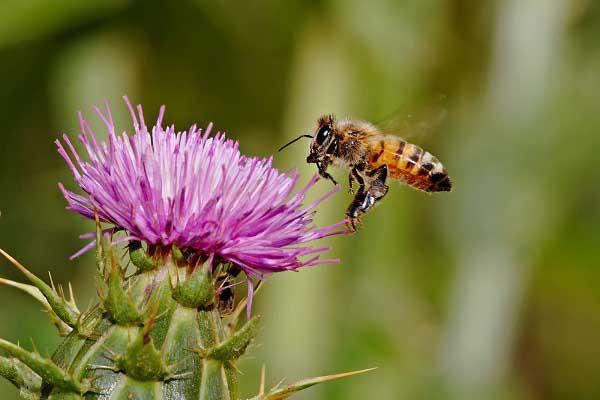 Honeybee_landing_on flower images wallpapers