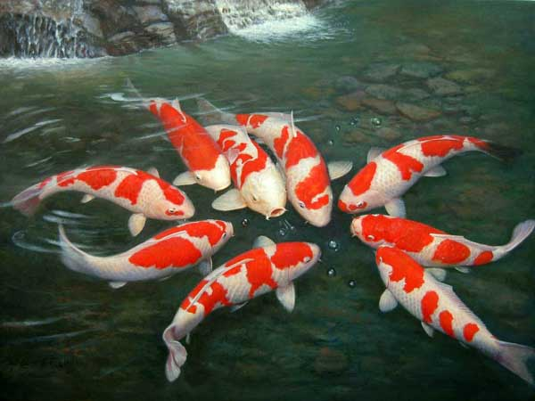 Koi Fish pictures images wallpapers