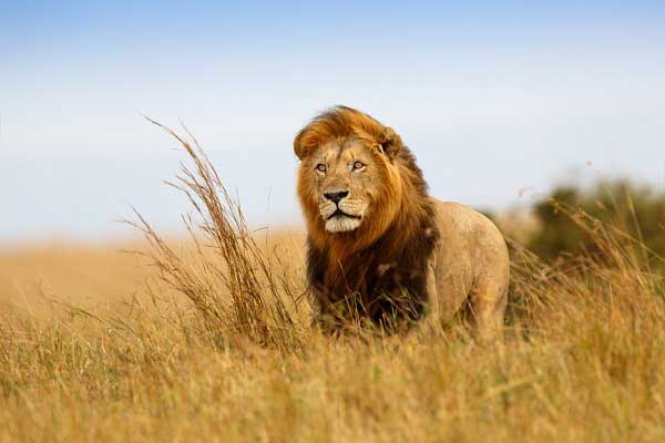Lion wallpapers pictures photos