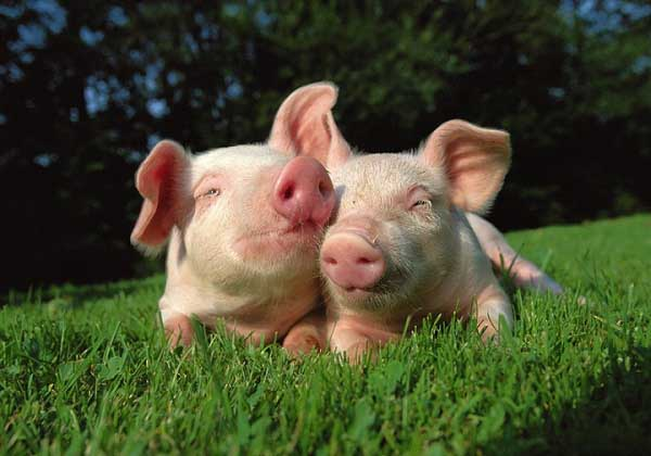 Pigs in grass