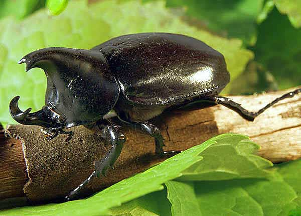 Rhinoceros-Beetle pictures