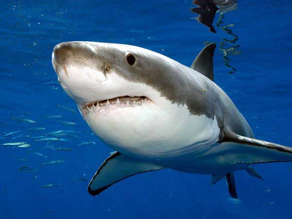 great-Shark-white-close-up