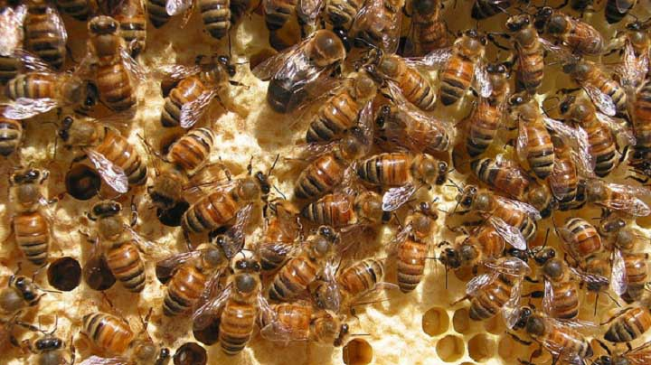 honey bees-pictures