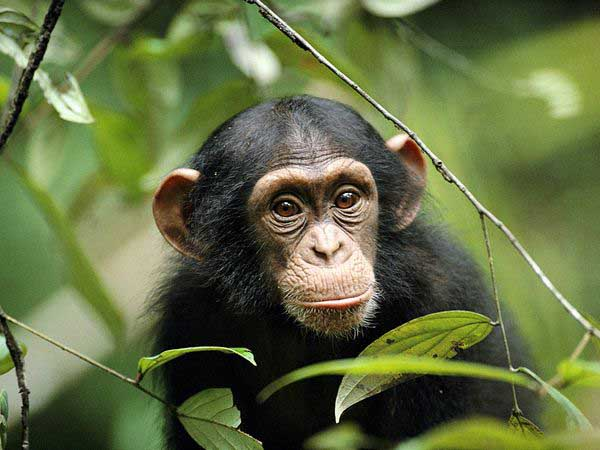 young-chimp Chimpanzee images pictures