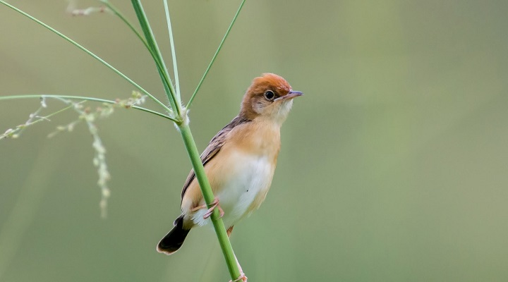 Top 10 Smallest Birds in the world Golden headed Cisticola