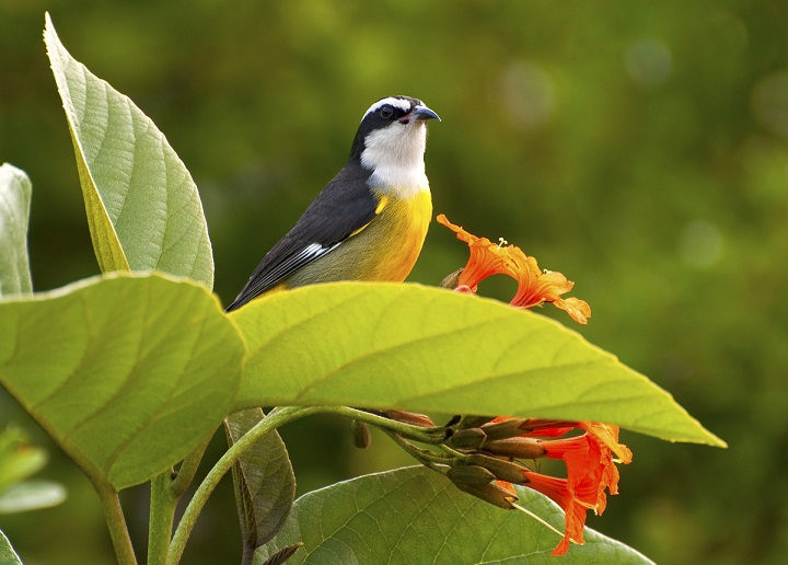 Top 10 Smallest Birds in the world The Bananaquit