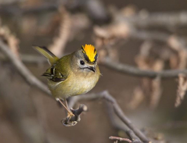 Top 10 Smallest Birds in the world The Goldcrest