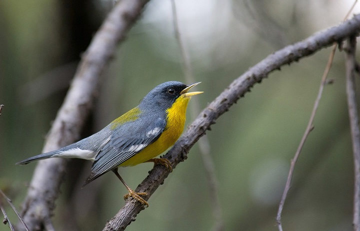Top 10 Smallest Birds in the world The Tropical Parula