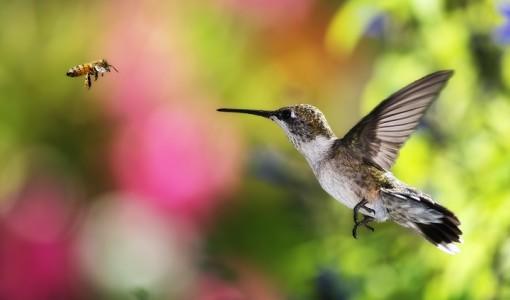 Top 10 Smallest Birds in the world bee hummingbird-bird-bee-fly-background