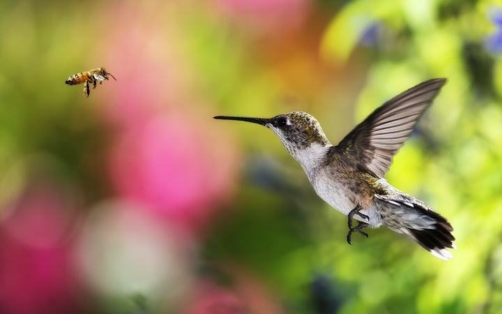 Top 10 Smallest Birds in the world bee hummingbird-bird-bee-fly-background