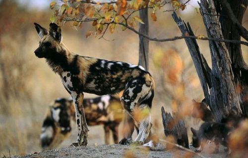 African-Wild-Dog