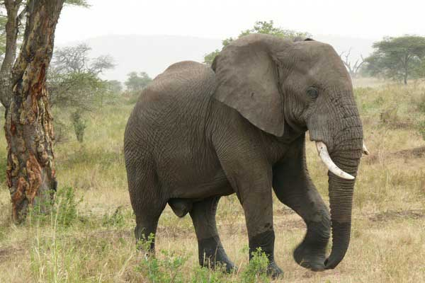 African Elephant Loxodonta_africanax pictures