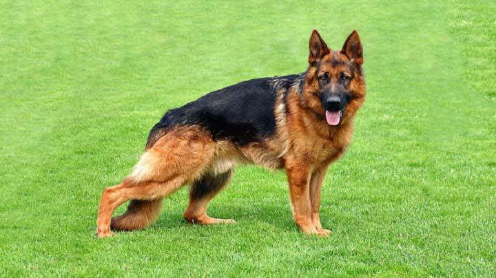German Shepherd Dogs Lifestyle