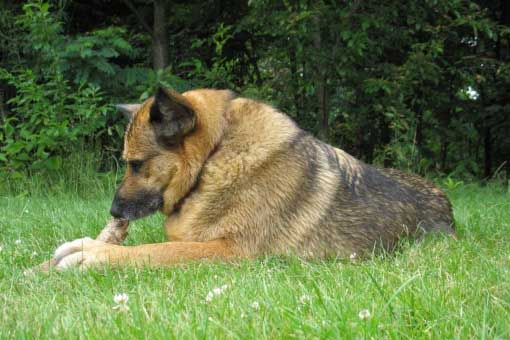 German Shepherds on gross Pictures