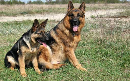 German Shepherds two