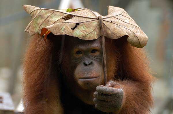 Orangutan-Pygmy-smart acting pictures images photos