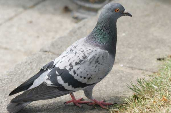 Pigeons pictures wallpapers hd flying