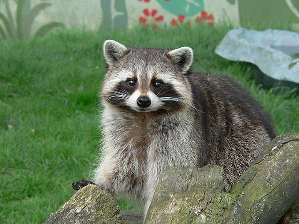 Raccoon pictures close up pictures