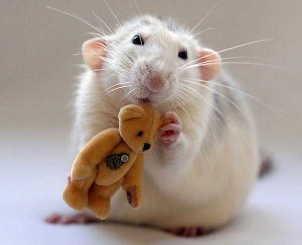 Rat cute lovely smart