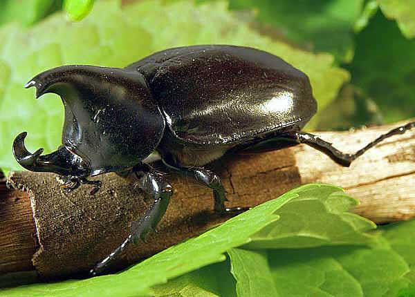Rhinoceros-Beetle pictures