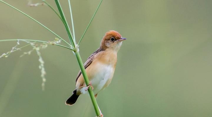 Top 10 Smallest Birds in the world Golden headed Cisticola