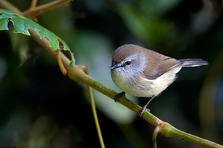 Top 10 Smallest Birds in the world The Brown Gerygone
