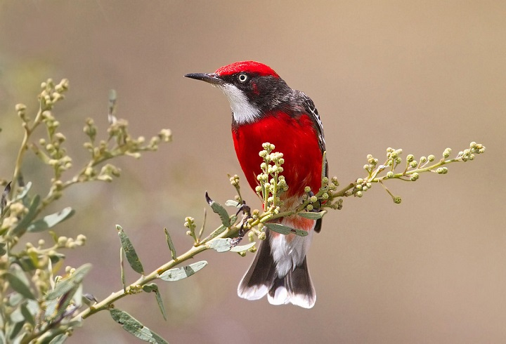 Top 10 Smallest Birds in the world The Crimson Chat
